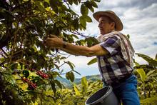 Hombre Con Sombrero Cogiendo La Cosecha De Café Maduro