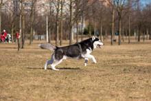 Husky Runs On A Bright Sunny Day