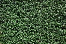 生垣のテクスチャ 緑の背景