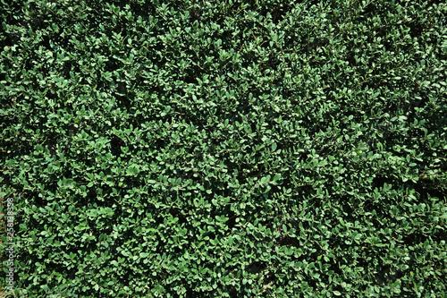 Fotomural 生垣のテクスチャ 緑の背景