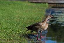 Ducks, Fish And Water Lilies In The Ecological Pool In Rabin Square