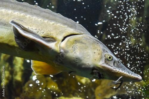 Fototapeta Fish sturgeon swims in the aquarium of oceanarium. Sturgeon fish obraz