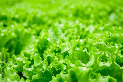 Stampa su Tela Closeup Fresh organic green leaves lettuce salad plant in hydroponics vegetables