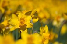 Closeup Of Yellow Daffodils In...