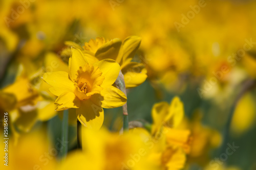 closeup of yellow daffodils in a public garden