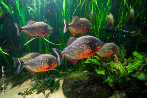 Fotografie, Obraz  piranha fish underwater close up portrait