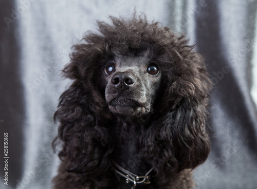 dog portrait of a poodle, black, curly and shaggy Canvas-taulu