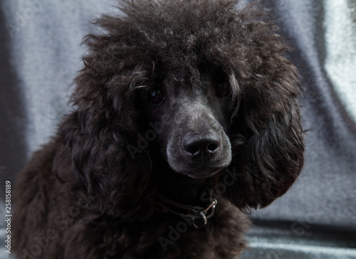 dog portrait of a poodle, black, curly and shaggy Fototapeta