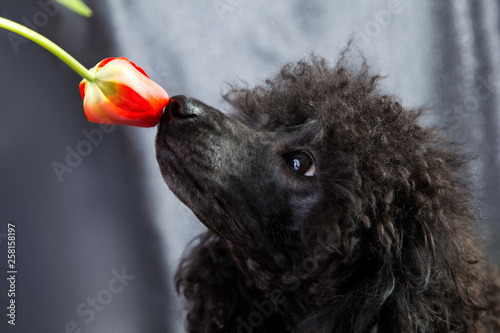Fotografija  the face of a black poodle sniffing a pink tulip