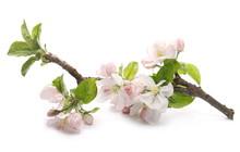 Spring Blooming Apple Tree Flo...