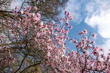 Magnolia Branches With Pink Flowers And Blue Sky