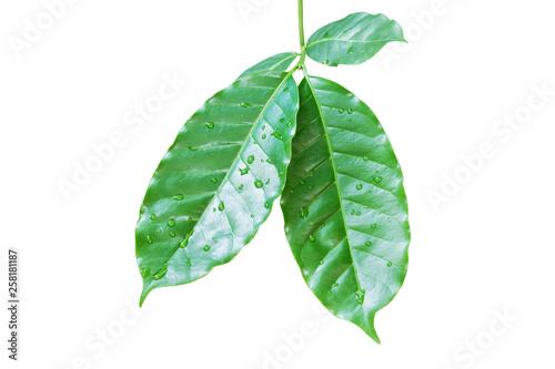 Fotografie, Obraz  Fresh Green Coffee Leaves with Water Drops Isolated on White Background