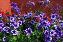 Purple Petunia Flower And Red ...