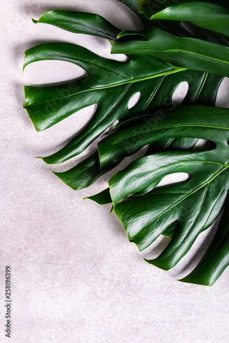 Close up of tropical monstera leaf Canvas Print