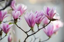 Magnolia In Piena Fioritura