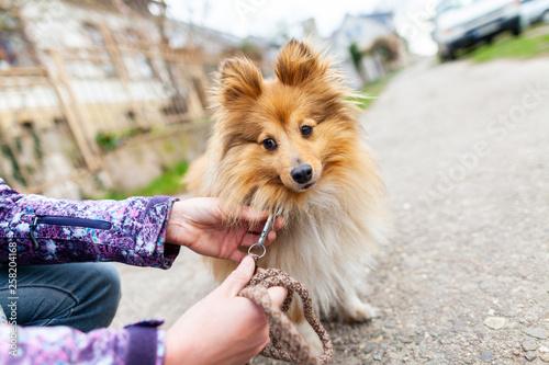 Obraz na plátně  A woman is leashing her sweet shetland sheepdog