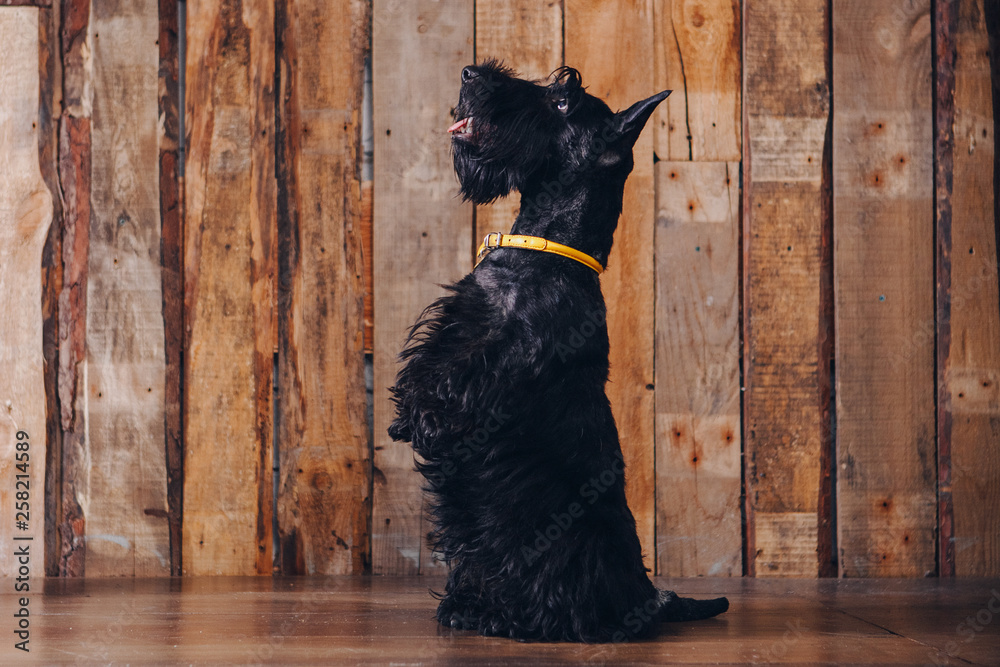 Fototapety, obrazy: Scottish terrier puppy is posing in studio on wooden background