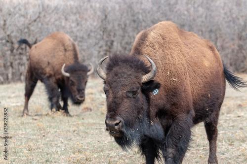 Fotografie, Obraz  Colorado Bison Herd