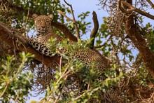 Kenya January 2019 - Safari Masai-Mara Leopard