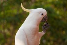 Australian Sulphur-crested Coc...