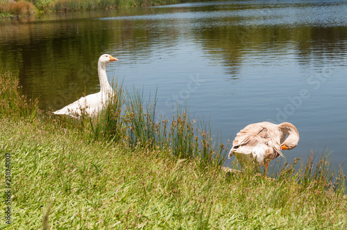Foto auf AluDibond Schwan Two geese near the lake rural scene