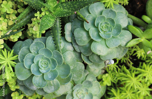 Closeup Of Green Crassula Plant, Succulent Plant And Other Kinds Of Plant  On Green Vertical