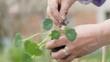 Female hand gardener sprinkling fertilizer flowers seedling and planting in