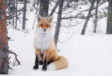 Red Emotion Fox In Russian Winter Forest