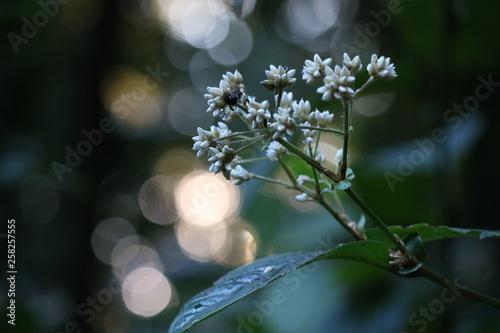 Poster Marron chocolat white flowers on tree