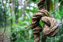 A Massive Liana Vine Twists Around Itself As It Grows In The Costa Rican Jungle.