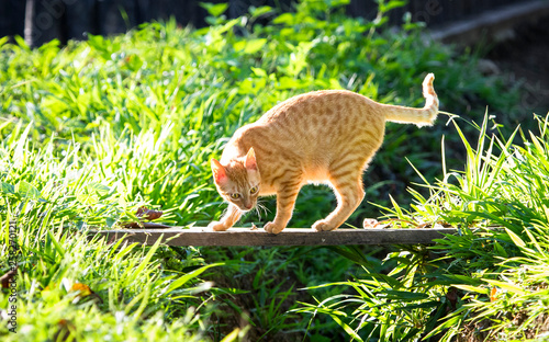A pet cat crosses a small wooden bridge over a stream on a sunny day.