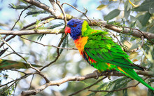 A Rainbow Lorikeet (Trichoglossus Moluccanus) In A Tree At The Darebin Parklands, Victoria, Australia.