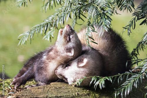 Fotografia, Obraz  Zwei Iltisse spielen auf einem Baumstamm