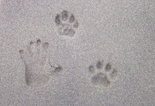 An Adult Human Hand Print Next To A Jaguar Footprint In The Sand. Costa Rica.