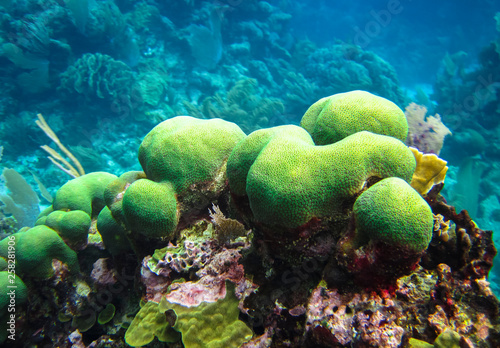 A colony of green coral grows on the reefs of Tobacco Caye, Belize.