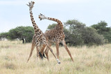 Fototapeta Londyn - Fighting giraffes