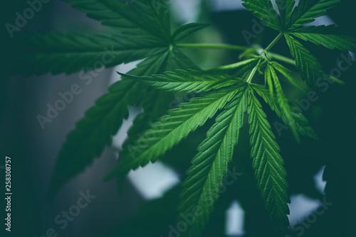 Fotografia  Marijuana leaves cannabis plant tree growing on dark background / Hemp leaf