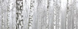 Young birch with black and white birch bark in spring in birch grove against the background of other birches - 258308924