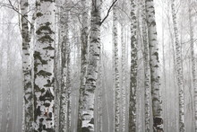 Young Birch With Black And Whi...