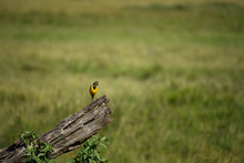 Yellow Throated Longclaw Bird, Perched On A Dead Log, Hunting Flies That Circle It, In The Masai Mara National Game Reserve, Kenya, Africa