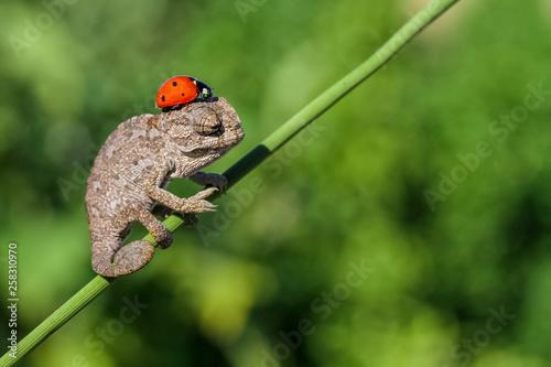 Fotografie, Tablou  baby cute chameleon 3 ..