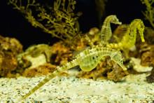Yellow Big Belly Seahorse Swimming Underwater Ocean