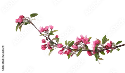 Poster Fleur Wild apple tree flowers blooming isolated on white background with clipping path