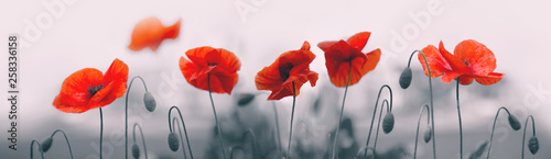 Obraz Red poppy flowers isolated on gray background. - fototapety do salonu