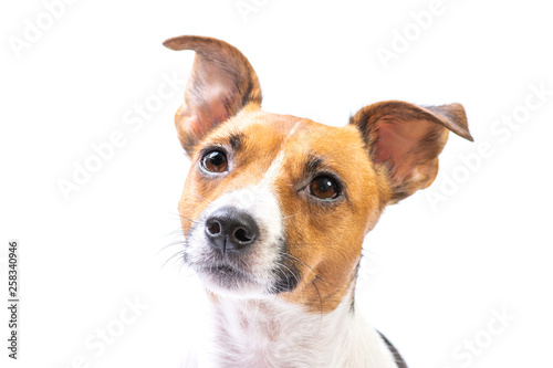 Fotografie, Obraz  Closeup Portrait Jack Russell Terrier, standing in front, isolated white backgro
