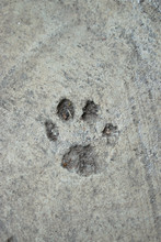 Pawprint In The Pavement