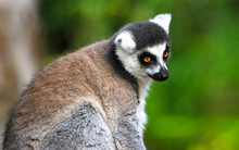 An Adult Ring-tailed Lemur (Le...