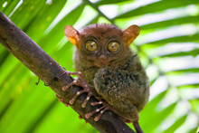 Phillipine Tarsier ,Tarsius Syrichta, The World's Smallest Primate Cute Tarsius Monkey With Big Enormous Eyes Sitting On A Branch With Green Leaves. Bohol Island, Philippines.