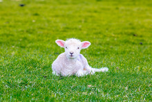 Newborn Baby Sheep On Green Gras