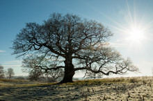 Frosty Day For An Old Oak Tree.
